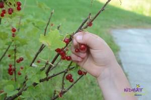 Beerenpflücken2